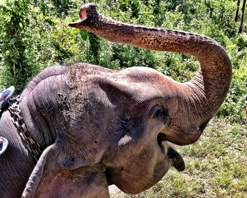 THAI ELEPHANT : PHOTO