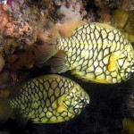 Pineapple fish at Port Stephens