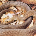 Brown Snake of Australia