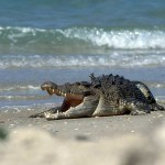 Crocodile on Australia Beach