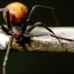 The Redback Spider of Australia