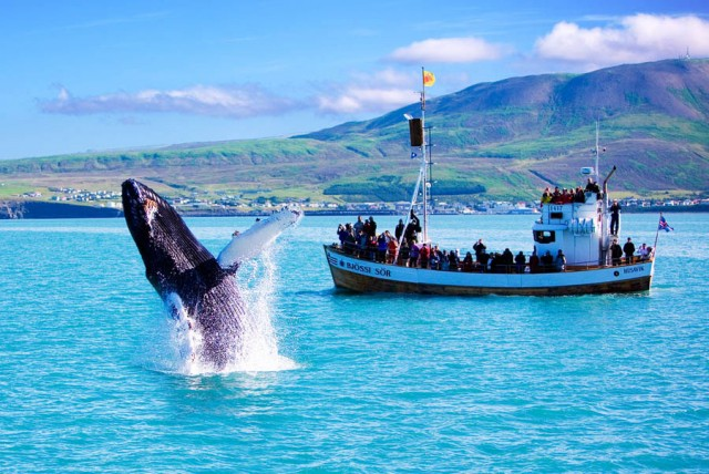 Whale Watching in Iceland for Travel
