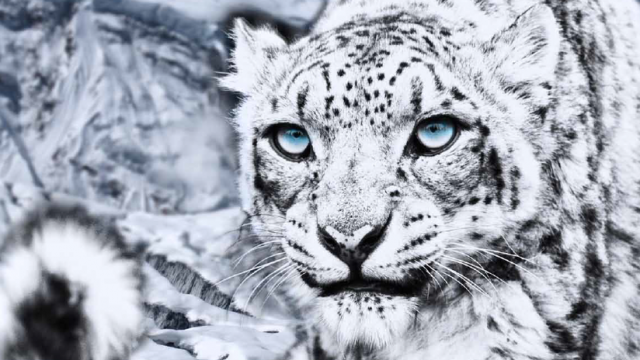 Encounter Snow Leopards While Traveling the Himalayas