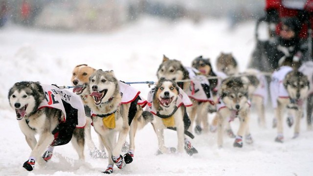 Travel to Alaska for Dog Sledding and Musher Camps